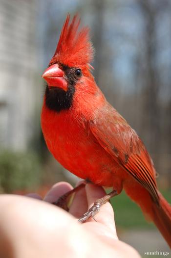 Redbird11