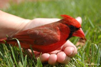Redbird5