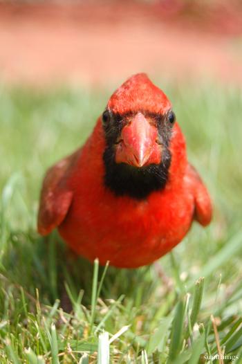 Redbird7