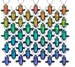 Rainbow_beetles_1