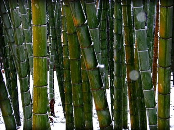 Snow_and_bamboo