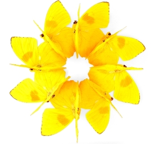 Yellow_ring_of_butterflies